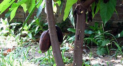 Cacao: moneda y alimento de los mayas